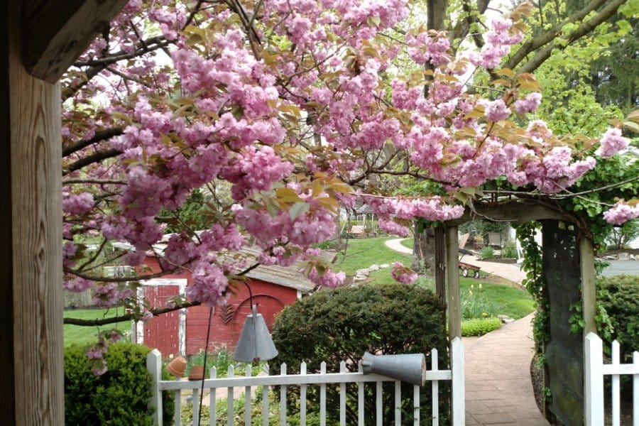 cherry tree in bloom by back porch
