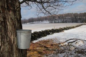 Photo of maple sugar tapping in an open field